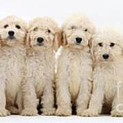 Six Labradoodle Pups Poster