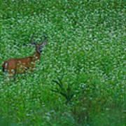Six Point Deer In Wildflowers Poster