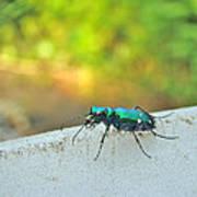 Six-spotted Tiger Beetle - Cicindela Sexguttata Poster