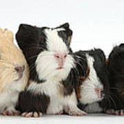 Six Young Guinea Pigs In A Row Poster