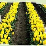 Skagit Valley Tulips 2 Poster