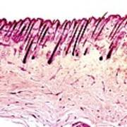 Skin Tissue, Light Micrograph Poster