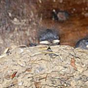 Sleeping Barn Swallows Poster