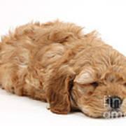 Sleeping Cockerpoo Puppy Poster