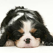 Sleeping Puppy Poster by Jane Burton
