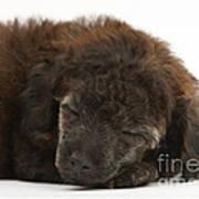 Sleeping Puppy Poster