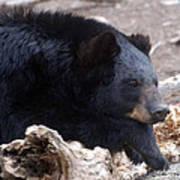 Sleepy Black Bear Poster