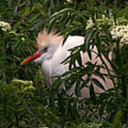 Sleepy Egret In Elderberry Poster