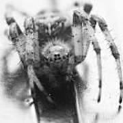 Small Alberta Spider Poster