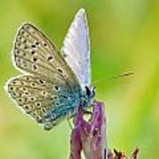 Little Butterfly Poster
