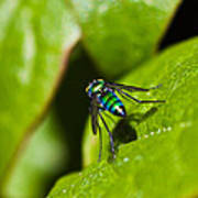 Small Green Fly Poster