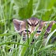 Small Kitten In The Grass Poster