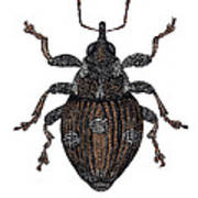 Small Nettle Weevil Poster