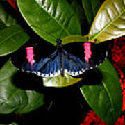 Small Postman Butterfly Poster
