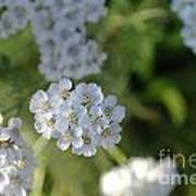 Small White Wildflowers  Poster