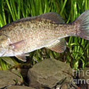 Smallmouth Bass Micropterus Dolomieu Poster