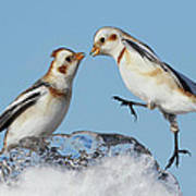 Snow Buntings And Ice Poster