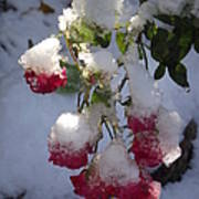 Snow Covered Roses Poster
