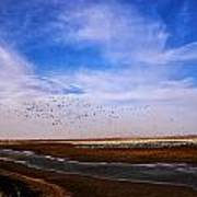 Snow Geese At Rest Poster