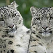 Snow Leopard Pair Sitting Poster