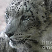Snow Leopard Profile Poster by Chris Hill