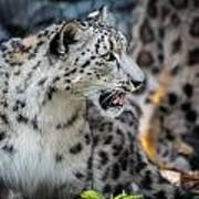 Snow Leopards Poster