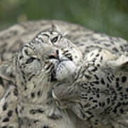 Snow Leopards Playing Poster