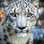 Snow Leopards Stare Poster