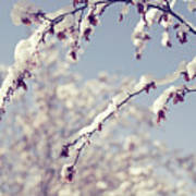 Snow On Spring Blossom Branches Poster