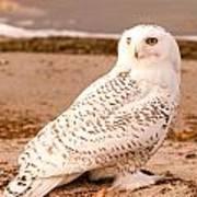 Snow Owl3 Poster