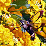 Snowberry Clearwing Hummingbird Moth Poster