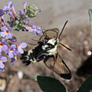 Snowberry Clearwing Moth Feeding Poster