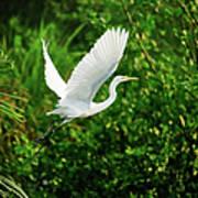 Snowy Egret Bird Poster by Shahnewaz Karim