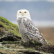 Snowy Owl At Boundary Bay Vancouver Poster