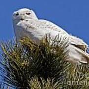 Snowy Owl High Perch Poster