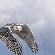 Snowy Owl In Flight Poster