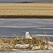 Snowy Owl Perched Frozenpond Poster