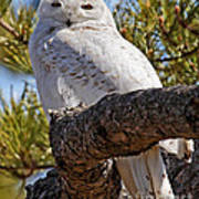 Snowy Owl Resting Poster