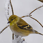 Snowy Yellow Finch Poster