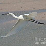 Soaring Snowy Egret Poster