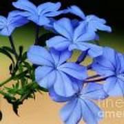 Soft Blue Plumbago  Poster