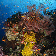 Soft Coral And Sea Fan, Fiji Poster