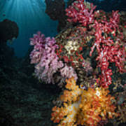 Soft Coral And Sunburst In Raja Ampat Poster