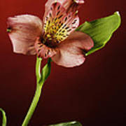 Soft Red Lilly Flower Poster