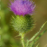Soft Thistle Poster