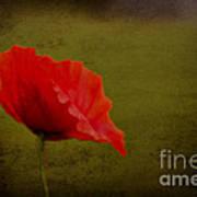 Solitary Poppy. Poster