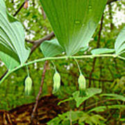 Solomon's Seal Wildflower - Polygonatum Commutatum Poster