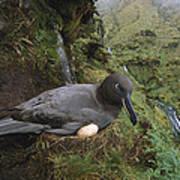 Sooty Albatross Phoebetria Fusca Poster