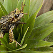 Southern Frog Newly Discovered Species Ecuador Poster