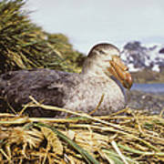Southern Giant Petrel Poster